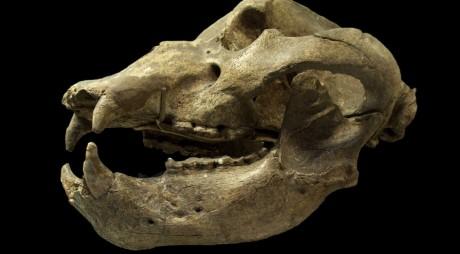 Craniu de urs de peșteră – exponatul lunii la MCDR
