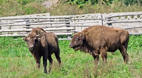 Hunedoara va avea un ţarc pentru resălbăticirea zimbrilor