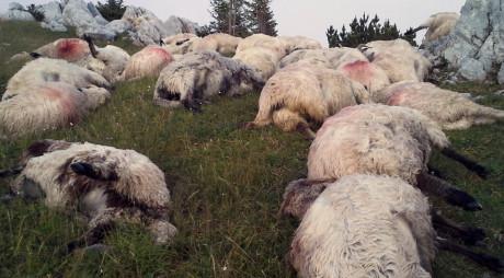MĂCEL în RETEZAT | 400 de OI MOARTE după ATACUL URȘILOR