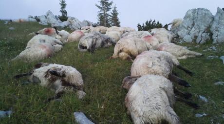 VALEA JIULUI | Zeci de oi au murit, după ce au fost atacate de un urs și un lup