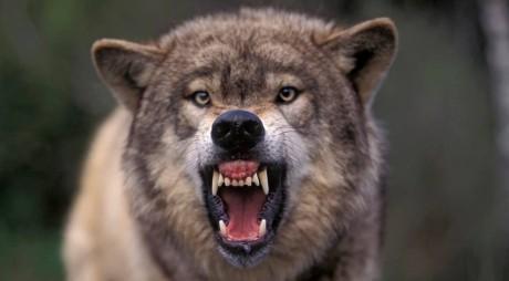 ALERTĂ ÎN APROPIEREA JUDEŢULUI HUNEDOARA! Urşii şi haitele de lupi ameninţă populaţia