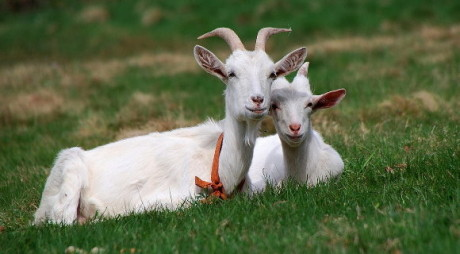 În atenția crescătorilor de ovine și caprine de pe raza municipiului Deva!