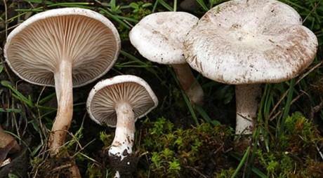 DSP Hunedoara: Metodele clasice de depistare a ciupercilor otrăvitoare sunt FALSE