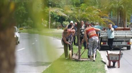 S-au înmulţit palmierii în centrul Timişoarei
