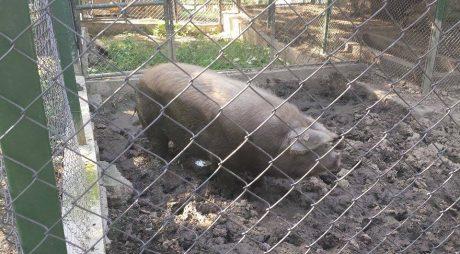Aproape 50.000 de porci, ucişi în toată ţara
