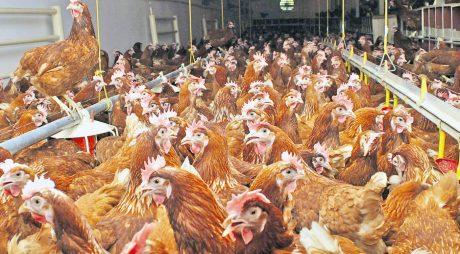 Răspândirea rapidă a gripei aviare pune în alertă sectorul avicol din UE