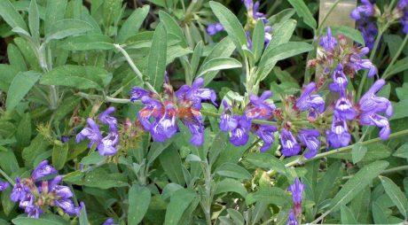 LEACURI DIN NATURĂ: Salvia