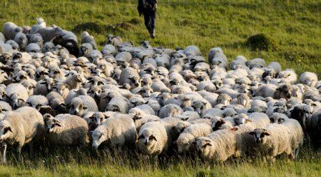 România reia exportul carne de oaie şi ovine către Iran