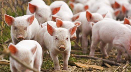 Țăranii care au peste 5 porci, obligați să se înregistreze şi să plătească impozit