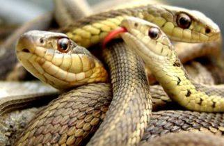 Invazie de șerpi în vestul țării