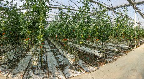 Programul de susținere a tomatelor. Ce se întâmplă cu subvențiile