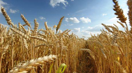 România, pe primul loc la nivel european. Țara noastră este campioană la exportul de grâu