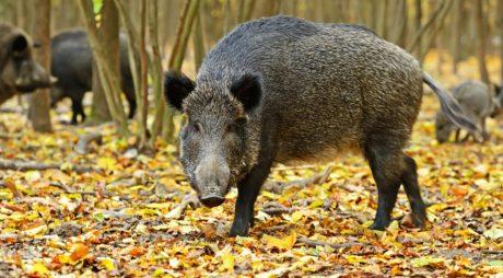 Arad: 17 focare de pestă porcină africană sunt în evoluţie, toate pornite de la porci mistreţi