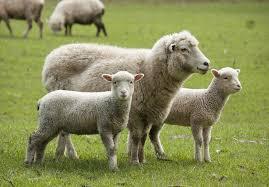 Au furat trei oi și au fost prinși de polițiști