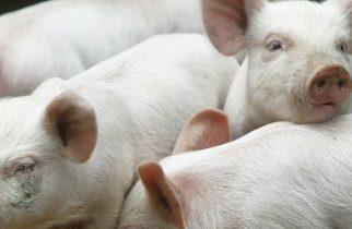 Focarele de Pestă Porcină Africană (PPA) din localităţile Călan şi Călanul Mic au fost stinse